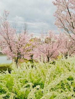 空,公園,花,屋外,雲,草,樹木,雪柳,草木,桜の花,さくら