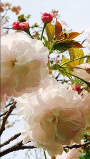 風景,花,桜,ピンク,花びら,野外,草木,淡い,八重咲き,重なる