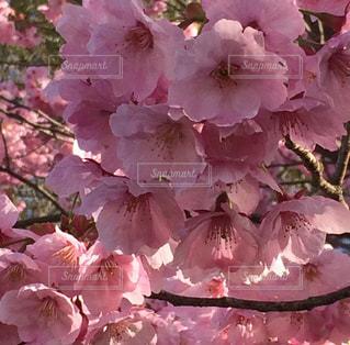 公園,花,春,ピンク,景色,鮮やか,満開,たくさん,さくら,濃い