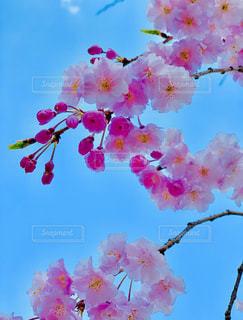 空,花,春,桜,ピンク,鮮やか,野外,カラー,さくら