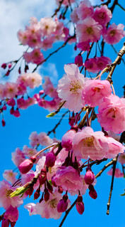 空,花,春,桜,雲,鮮やか,たくさん,カラー,草木,さくら