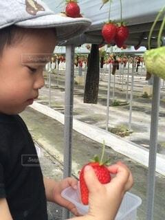 屋外,赤,帽子,いちご,手持ち,果物,人物,人,ポートレート,少年,男の子,若い,ライフスタイル,手元,イチゴ,イチゴ狩り