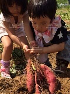子ども,風景,屋外,少女,手持ち,野菜,人物,人,土,田,ポートレート,少年,栽培,芋,ライフスタイル,芋掘り,手元,さつま芋