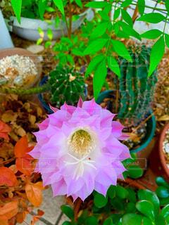 サボテンに花が咲きました。の写真・画像素材[4315263]