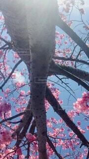 空,花,桜,鳥,屋外,ピンク,雲,青,花見,樹木,風,草木,さくら,鳴き声,ブロッサム,子供の声