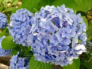 花,紫,紫陽花