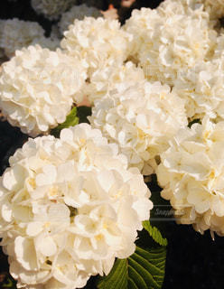 花,白,夕暮れ,紫陽花