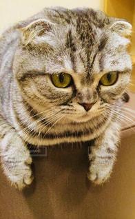 カメラを見ている猫の写真・画像素材[1259428]