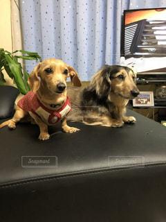 机の上に座っている犬の写真・画像素材[1188213]