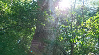 屋外,晴天,山,日差し,大木,樹木,生命,陽射し,屋久島,秋空,草木,屋久杉