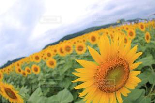 ひまわり畑の写真・画像素材[1385881]