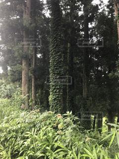 フォレスト内のツリーの写真・画像素材[1170502]