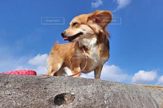 茶色と白犬の写真・画像素材[1184018]
