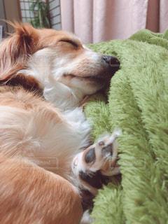 ベッドの上で横になっている茶色と白犬の写真・画像素材[1184032]