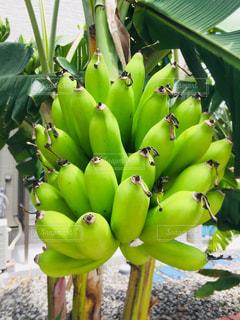 バナナの木の側に緑のバナナの束の写真・画像素材[1452445]