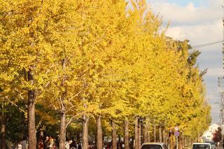 風景,紅葉,屋外,樹木,イチョウ,草木,岐阜県,イチョウ並木,学びの森,各務原市