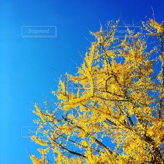 公園,秋,紅葉,イチョウ,秋空