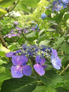 花,雨,きれい,晴れ,紫陽花,梅雨,アジサイ