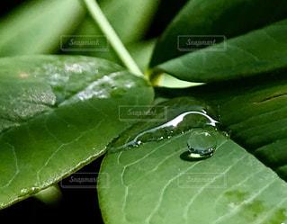 庭の南天の葉に綺麗な水滴がついていました。の写真・画像素材[1177643]