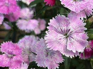 花,ピンク,ピンクの花,撫子