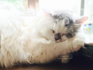 リビング,部屋,室内,手,光,白い,ふわふわ,眠る,リラックス,癒し,写真,睡眠,天使,窓際,日向ぼっこ,sleep,White,もこもこ,雄,スコッティッシュフォールド