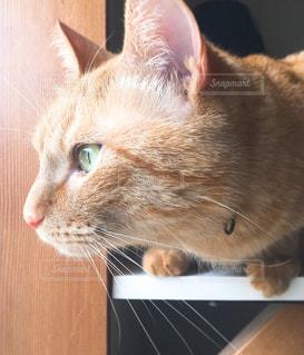 テーブルの上に座って猫の写真・画像素材[1257747]