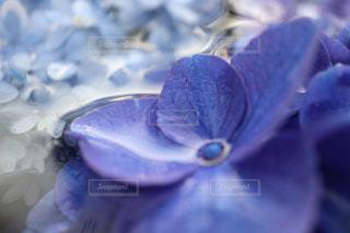 花,あじさい,青,水,花びら,紫陽花,ブルー