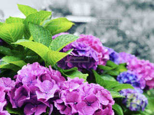 自然,公園,花,雨,屋外,緑,あじさい,青,紫,葉,白黒,景色,紫陽花,露,梅雨,草木,日中,ガーデン