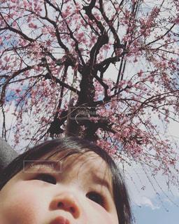 息子、初めての桜の写真・画像素材[1869833]