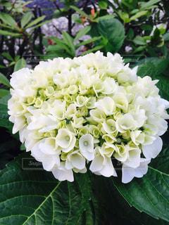 花,屋外,植物,白,梅雨,草木,アジサイ