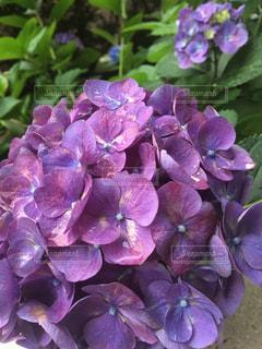 花,雨,屋外,植物,紫,紫陽花,梅雨,アジサイ