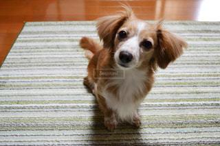カメラを見て、小さな茶色と白犬の写真・画像素材[1184104]