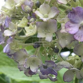 花,雨,紫陽花,雫,梅雨