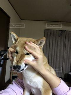 柴犬の写真・画像素材[1186427]