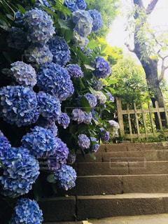 あじさい,青,紫陽花,梅雨