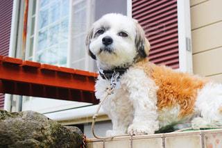 玄関前に座っている犬の写真・画像素材[1184883]