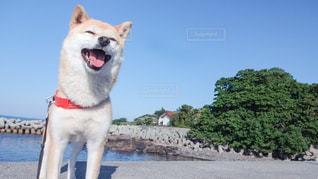 笑う犬の写真・画像素材[1186795]
