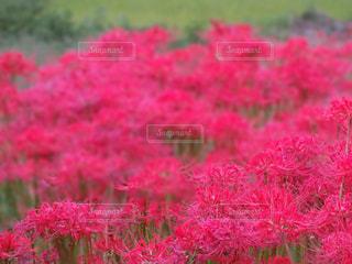 ピンク,彼岸花,奈良