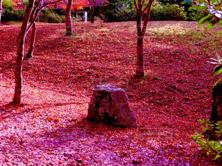 紅葉,ピンク,奥丹波