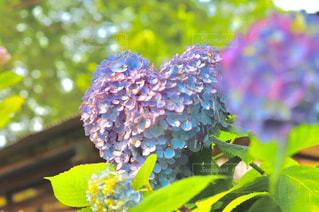ハート,紫陽花,マーク,藤森神社