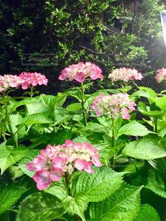 花,夜,木,屋外,ピンク,白,景色,紫陽花,ライトアップ,蕾,雨上がり,梅雨,みどり,若葉,しろ,草木,アジサイ,多色,茂る,蒼葉