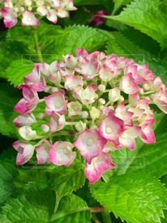 花,ピンク,景色,鮮やか,紫陽花,ライトアップ,新緑,蕾,雨上がり,梅雨,みどり,若葉,しろ,草木,アジサイ,フォトジェニック,多色,蒼葉