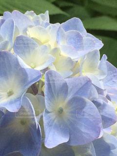 あじさい,水色,紫陽花,癒し,梅雨,アジサイ,フォトジェニック,インスタ映え,梅雨の晴れ間,梅雨晴れ