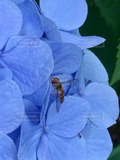 花,あじさい,青,水色,紫陽花,蜂,梅雨,蟻,梅雨の晴れ間,梅雨晴れ