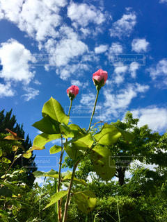 空,ピンク,白,雲,青空,青,バラ,鮮やか,薔薇,つぼみ,蕾,梅雨,草木,ばら,フォトジェニック,インスタ映え,梅雨の晴れ間,梅雨晴れ