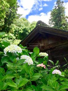 建物,花,屋外,ピンク,雲,青空,あじさい,鮮やか,紫陽花,癒し,梅雨,みどり,草木,趣,情緒,フォトジェニック,インスタ映え,梅雨の晴れ間,梅雨晴れ
