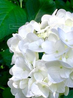 花,白,あじさい,紫陽花,癒し,梅雨,草木,フォトジェニック,インスタ映え,梅雨の晴れ間,梅雨晴れ