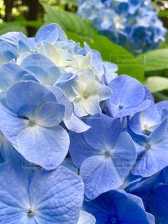 花,あじさい,青,紫陽花,新緑,梅雨,フォトジェニック,インスタ映え,梅雨の晴れ間,梅雨晴れ