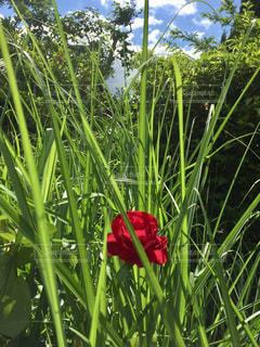 花,青空,薔薇,雑草,梅雨,はな,紅一点,梅雨晴れ