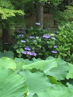 風景,花,雨,あじさい,もみじ,紫陽花,梅雨,はな,趣,情緒,はす,フォトジェニック,蓮子,インスタ映え